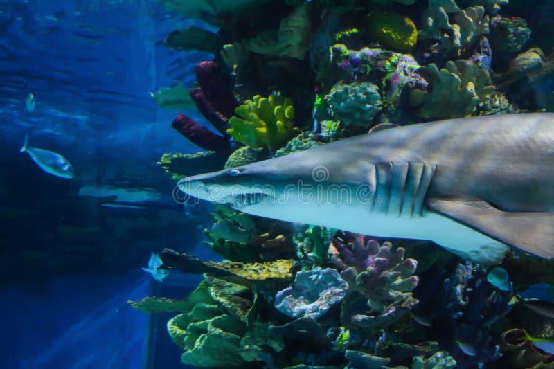 在akvarium的危险致命的鲨鱼 库存图片