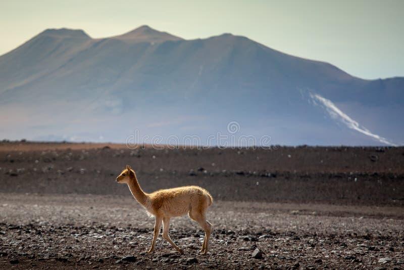 在altiplano区域上流的骆马之类在安地斯山ofd玻利维亚 库存照片
