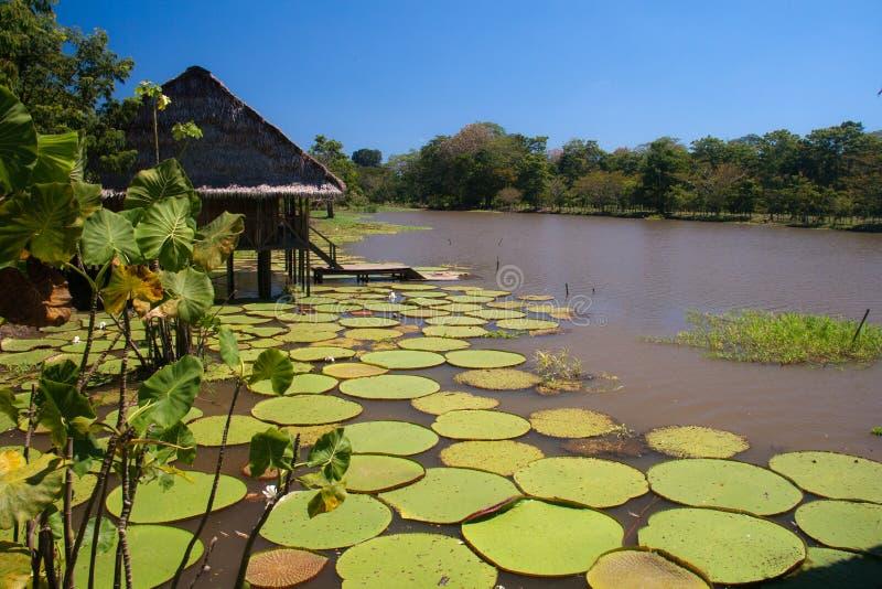 在Amazonas的巨型lillies,哥伦比亚 库存照片