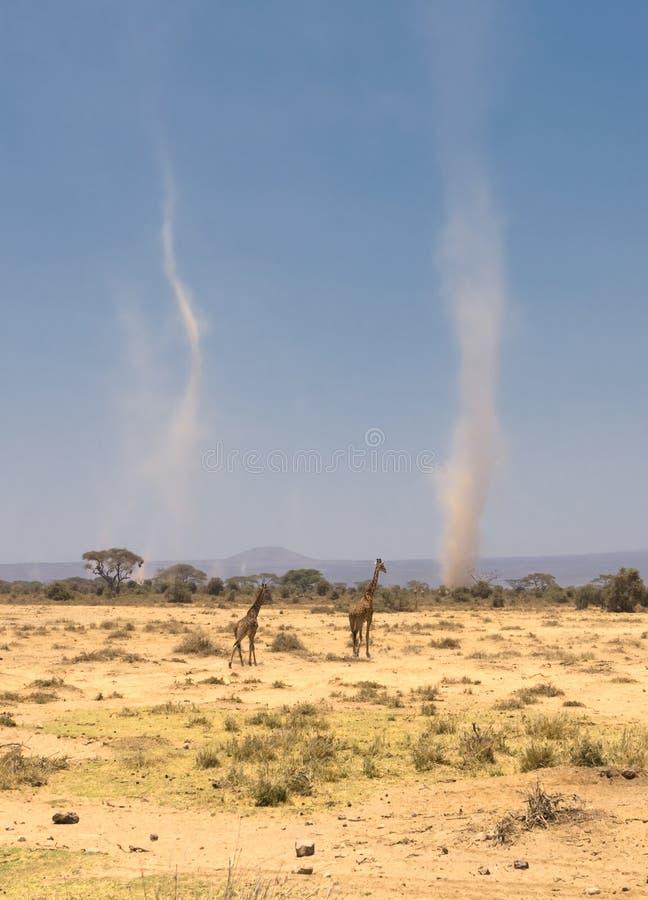 在amboseli,肯尼亚的长颈鹿和沙尘暴 免版税库存照片