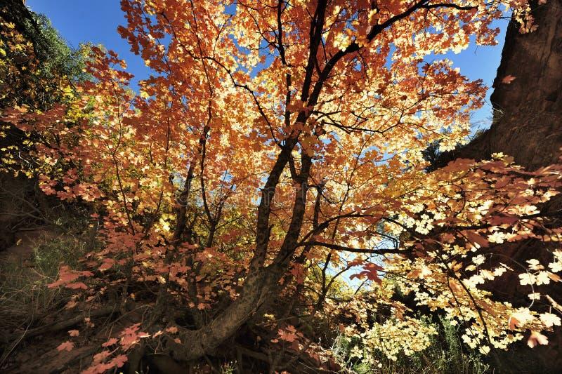 在Angel& x27的秋叶; s着陆足迹在锡安国家公园 库存图片