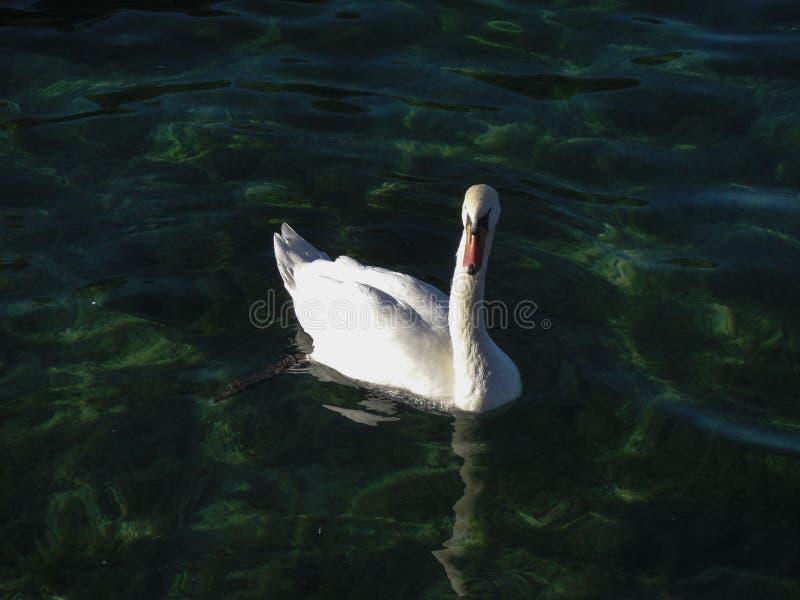 在Annency湖的白色天鹅 图库摄影