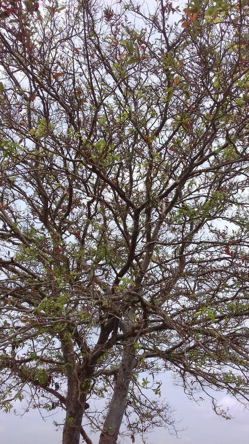 在anuradhapura的斯里兰卡的kubuk树 图库摄影