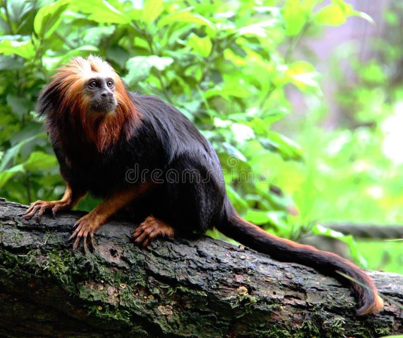 在Apenheul的金黄带头的狮子绢毛猴 免版税库存照片