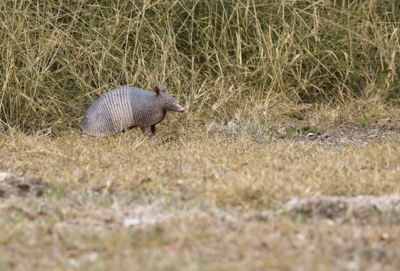 在Aransas全国野生生物保护区的机敏的犰狳在得克萨斯 免版税库存图片
