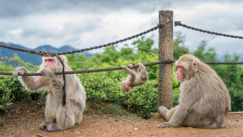 在Arashiyama山,京都的猴子 免版税图库摄影
