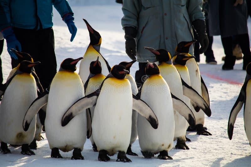 在Asahiyama动物园,北海道的企鹅行军 免版税图库摄影