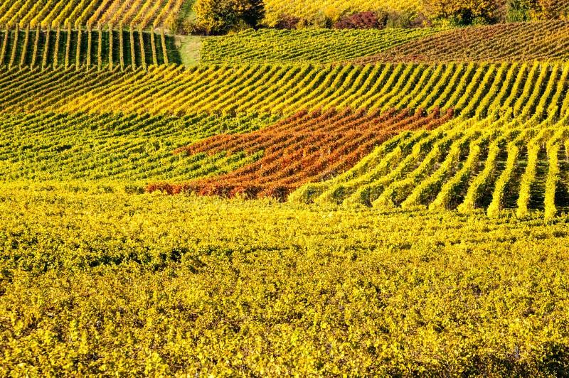 在autum期间的葡萄园在莱茵河黑森,莱茵高地区,德国 库存图片