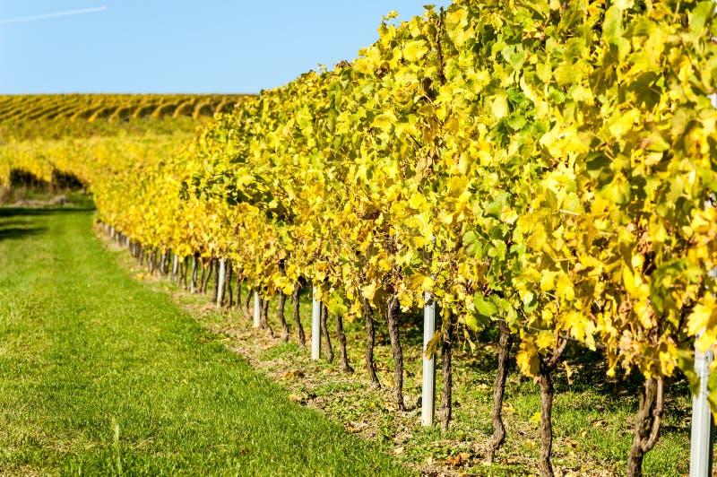 在autum期间的葡萄园在莱茵河黑森,莱茵高地区,德国 免版税库存照片