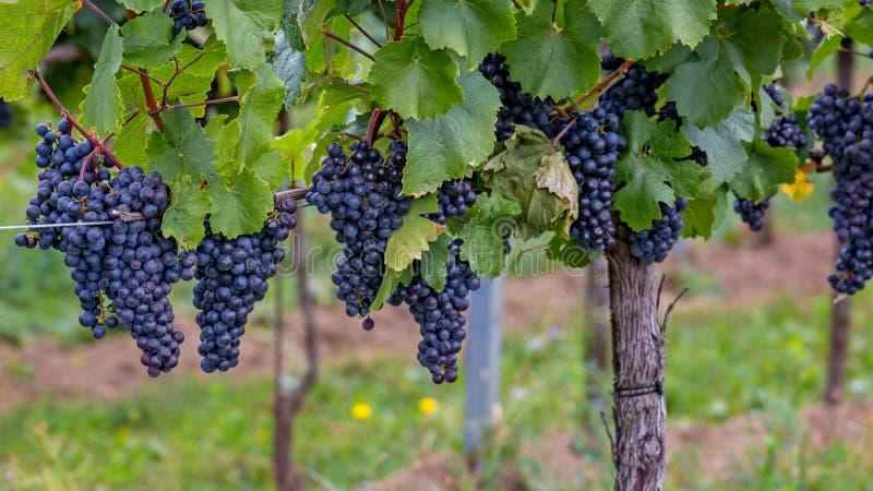 在autumntime的成熟葡萄在奥地利,布尔根兰州 库存图片