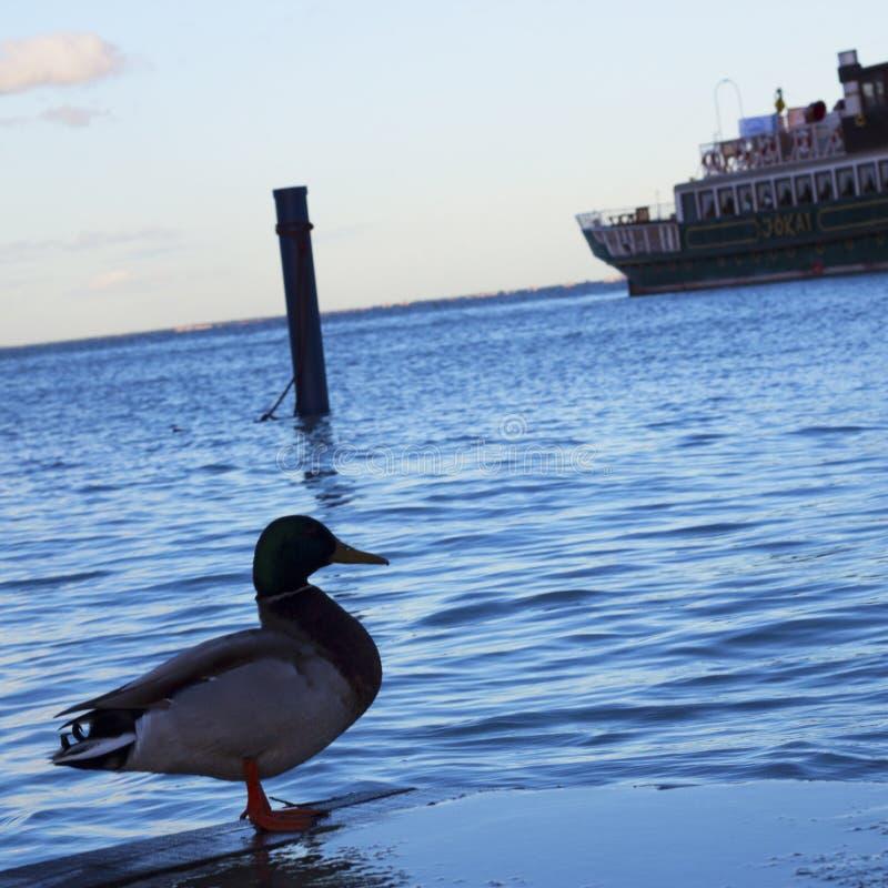 在Balatonfà ¼红色的鸭子 免版税图库摄影