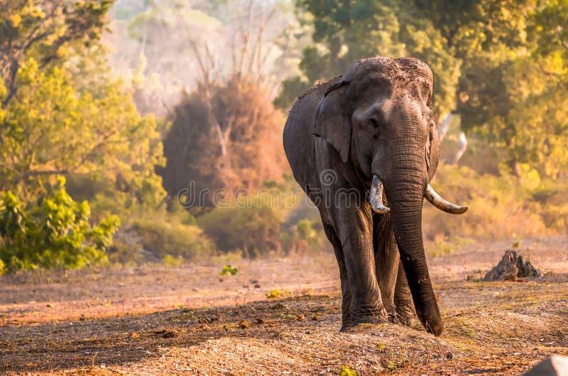 在Bandipur国家公园的多灰尘的河滩的大象 库存照片