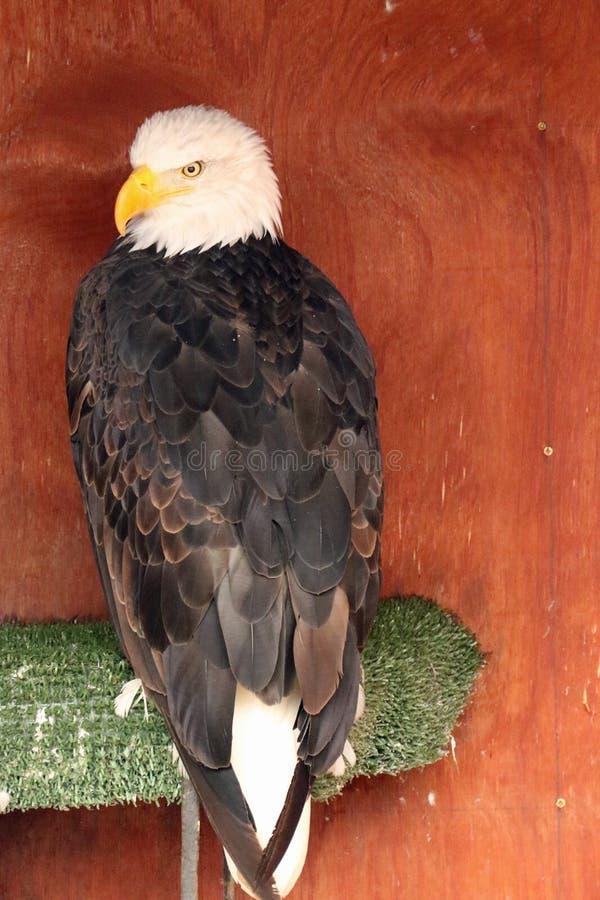 在Banham动物园的白头鹰 图库摄影