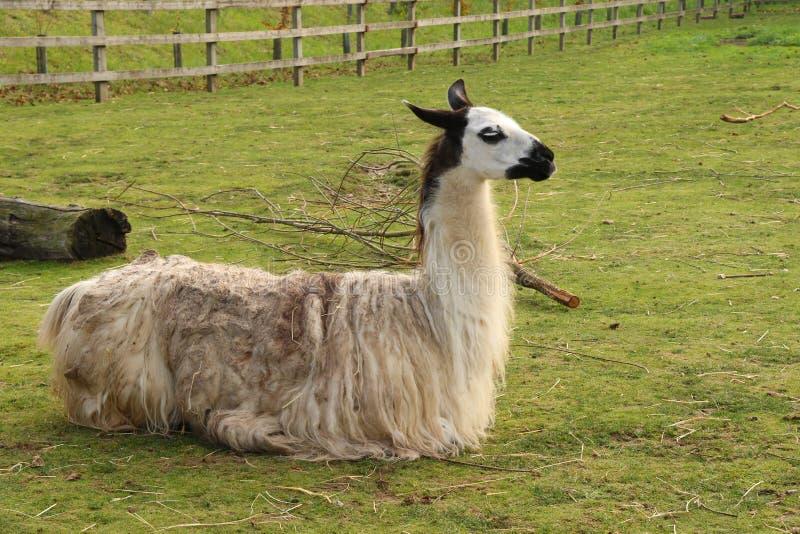 在Banham动物园的骆马 免版税库存图片