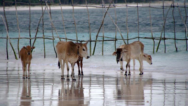 在Bara海滩Bira苏拉威西岛的母牛 免版税库存图片