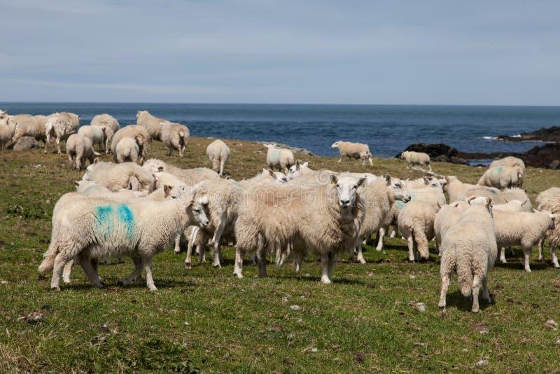 在Bardsey海岛上的绵羊 库存照片