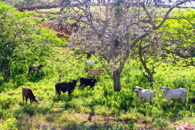 在Barichara附近的母牛 免版税库存图片