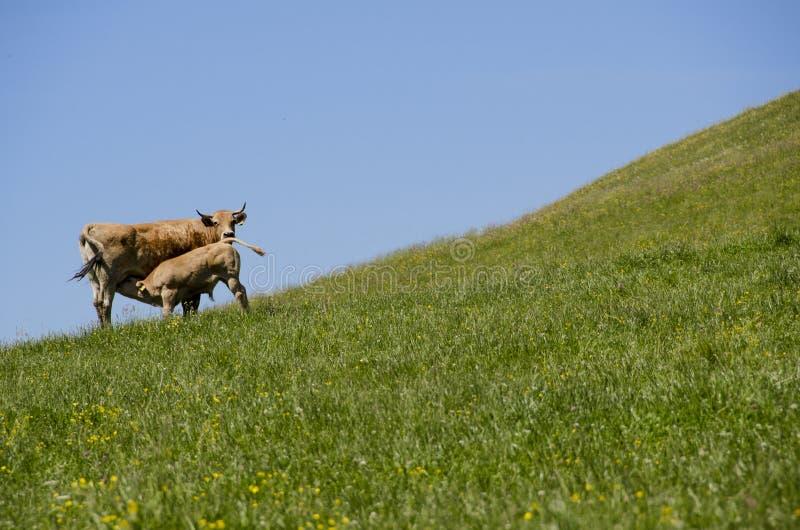 在Bieszczady山的母牛哺养的小牛在波兰 免版税库存照片