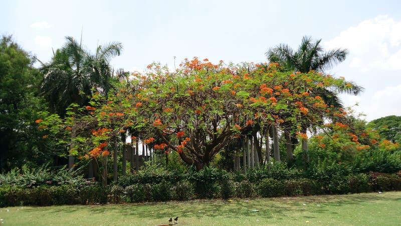 在Bijapur的皇家poinciana树 图库摄影