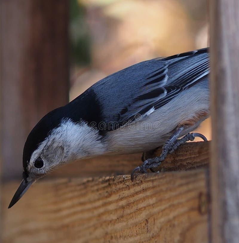 在Birdfeeder的白色Breasted五子雀 图库摄影