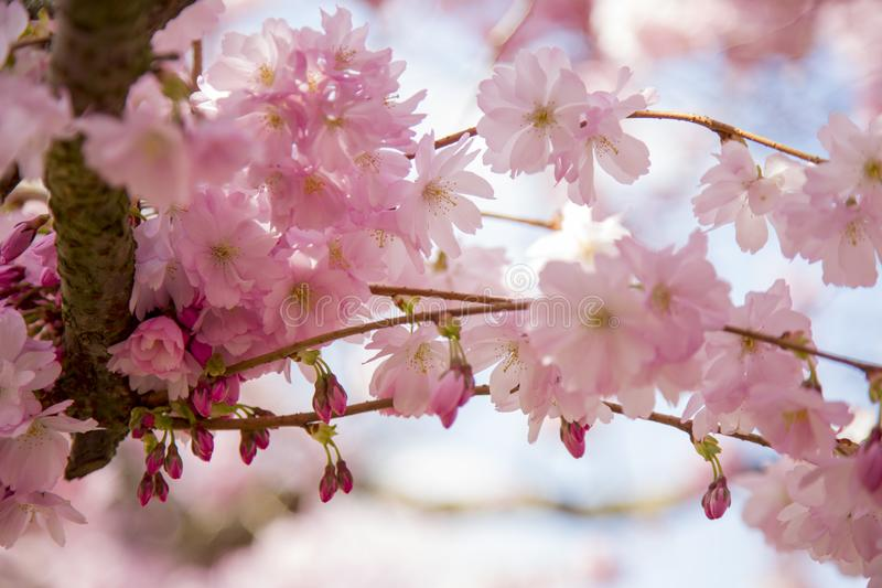 在Bisbebjerg公墓的日本樱花 免版税库存图片