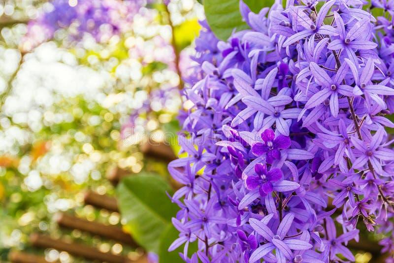 在bl的Beautyful紫色花圈藤或女王/王后` s花圈藤花 免版税库存照片