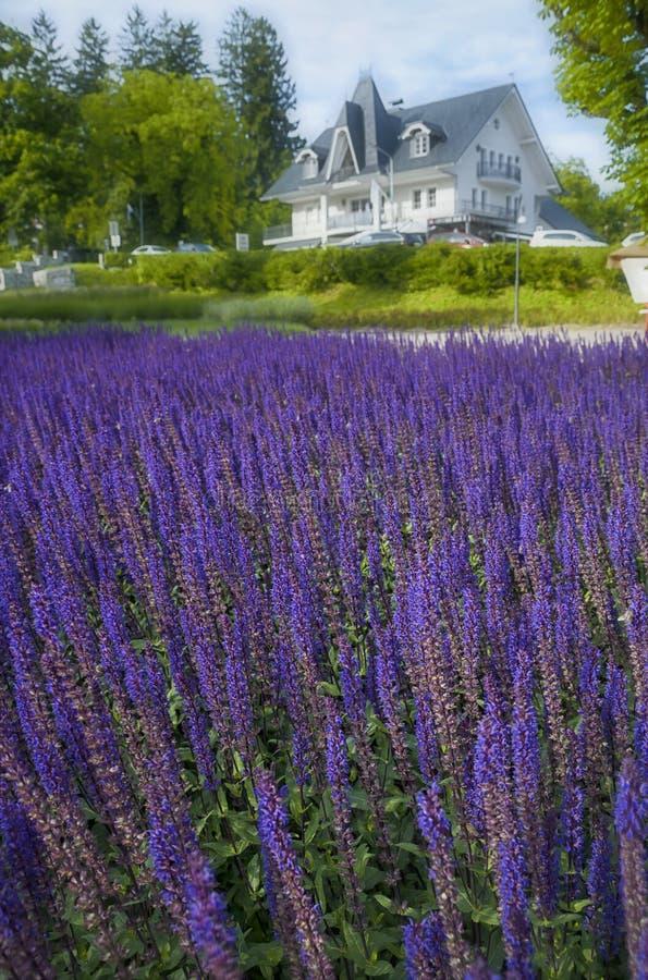 在Bled湖的美好的紫罗兰色花田在晴朗的夏日 免版税库存照片