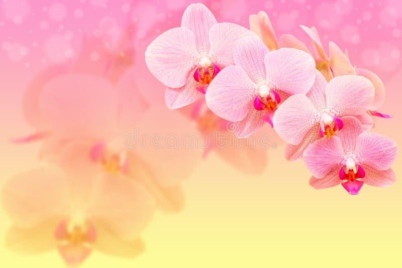 在blured背景的浪漫桃红色兰花花 免版税图库摄影
