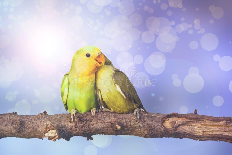在blurred彩色小灯背景的爱情鸟. 五颜六色, 晚上.