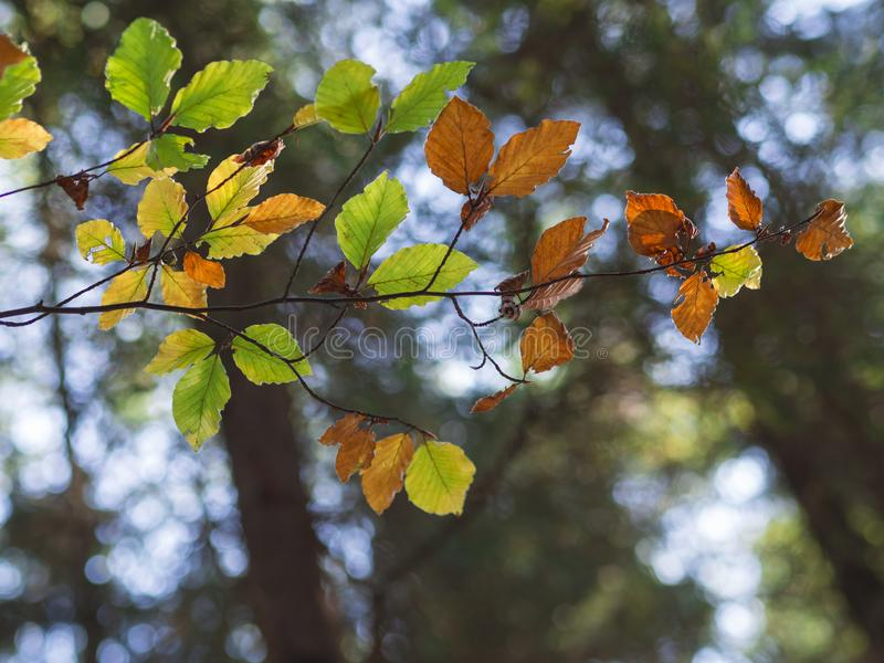 在bokeh的五颜六色的赤杨树秋叶点燃背景 免版税库存图片