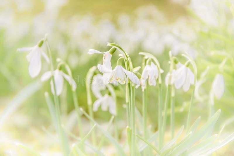 在bokeh背景隔绝的春天第一snowdrtops 免版税图库摄影