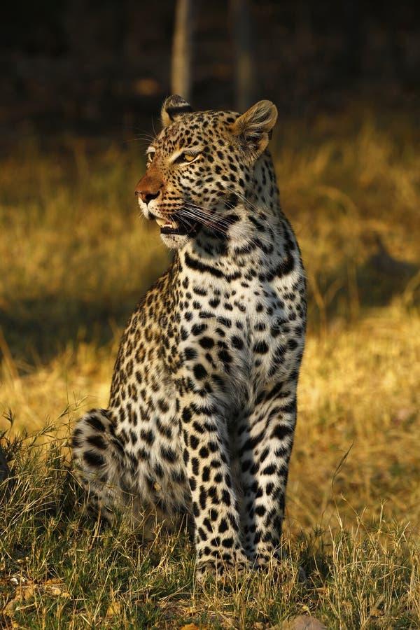 在Botwana ` s灌木草原的惊人的狂放的豹子戒备 免版税库存图片