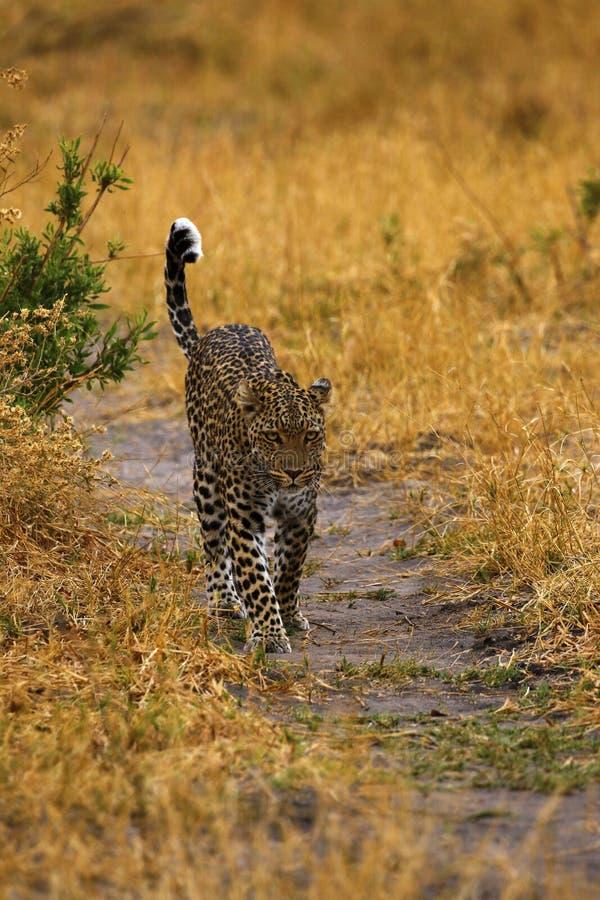 在Botwana ` s灌木草原的惊人的狂放的豹子戒备 免版税图库摄影
