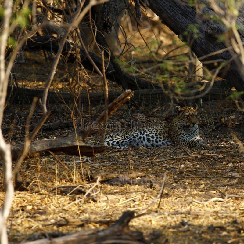 在Botwana ` s灌木草原的惊人的野生豹子 免版税库存照片