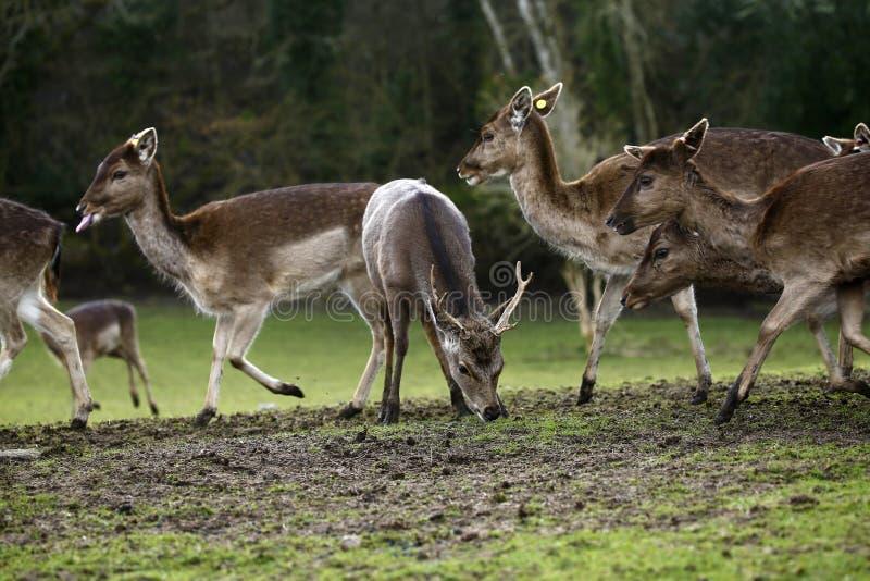 在Bovey城堡地面的休耕公园鹿 库存照片