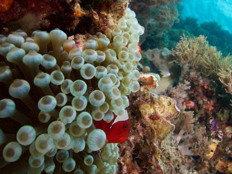 在bubbletip银莲花属,王侯Ampat,印度尼西亚的Spinecheeked clownfish 库存照片