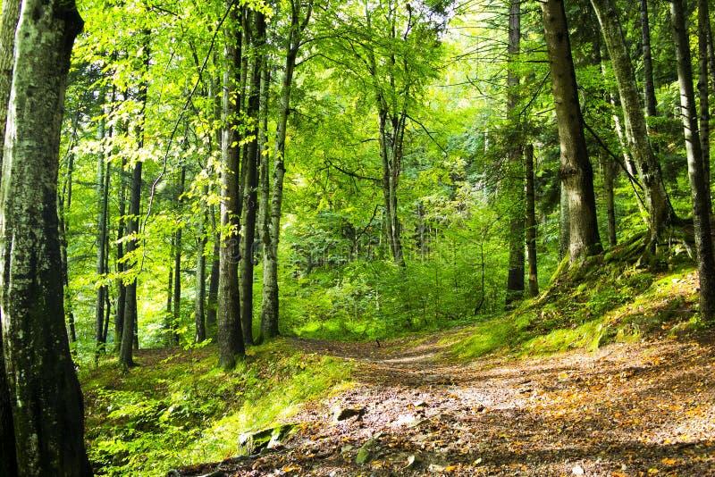 在Bucegi山的狂放的森林足迹 图库摄影