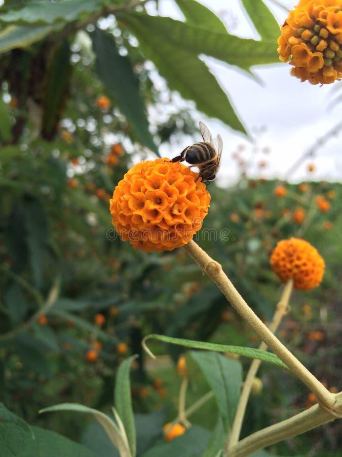 在Buddleja globosa的一只蜂 库存图片