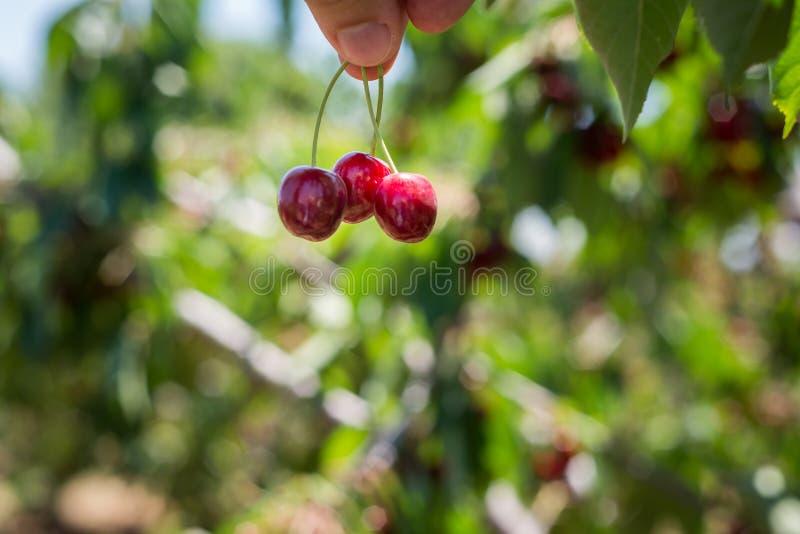在Bustan Bereshit的樱桃采摘在戈兰高地 库存照片