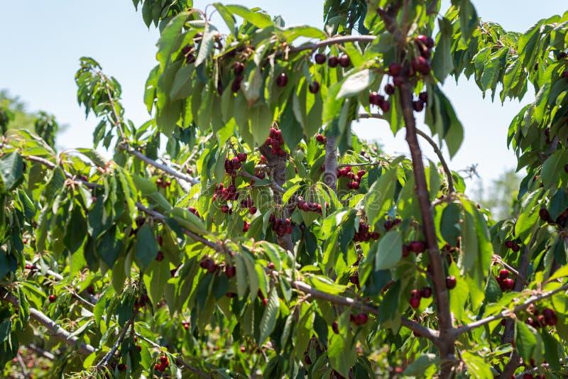 在Bustan Bereshit的樱桃采摘在戈兰高地 免版税库存照片