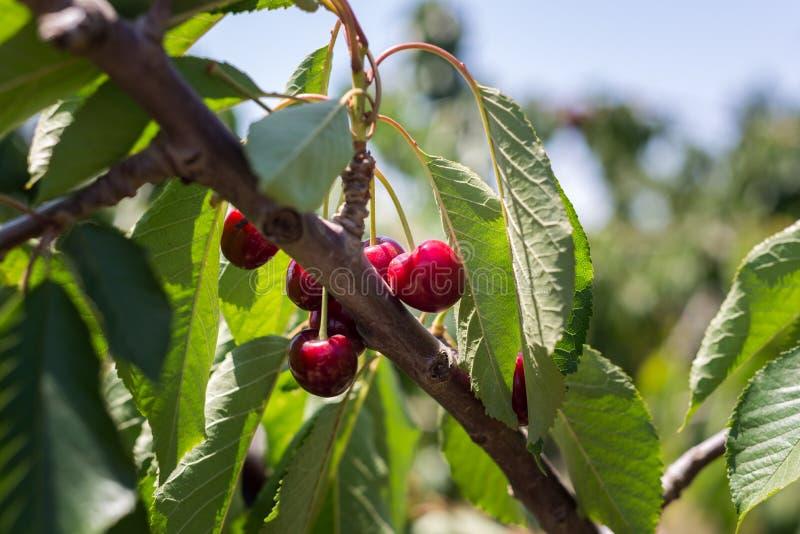 在Bustan Bereshit的樱桃采摘在戈兰高地 免版税图库摄影