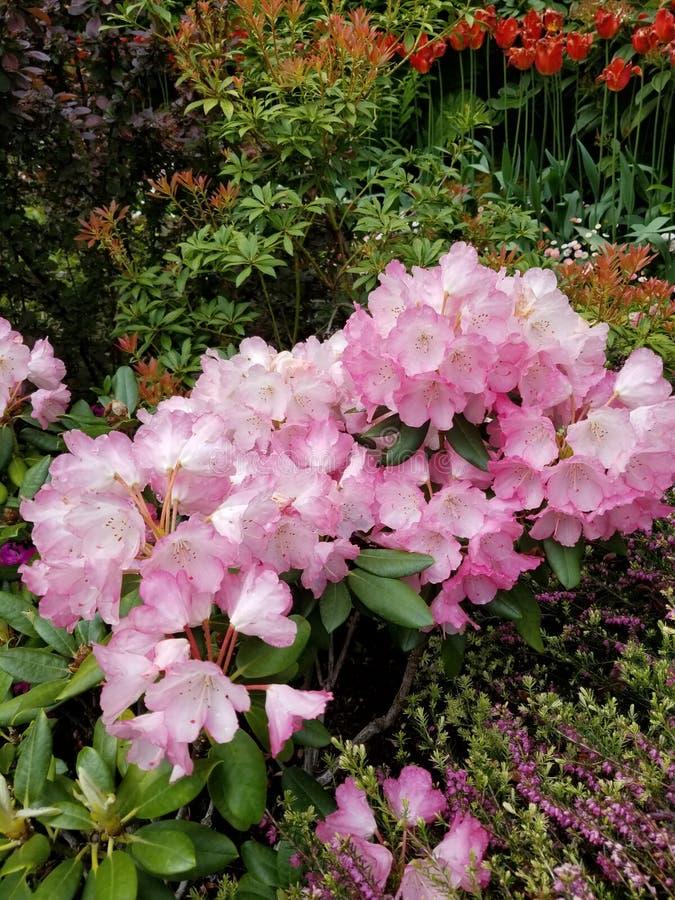 在Butchart庭院的桃红色花 免版税库存图片