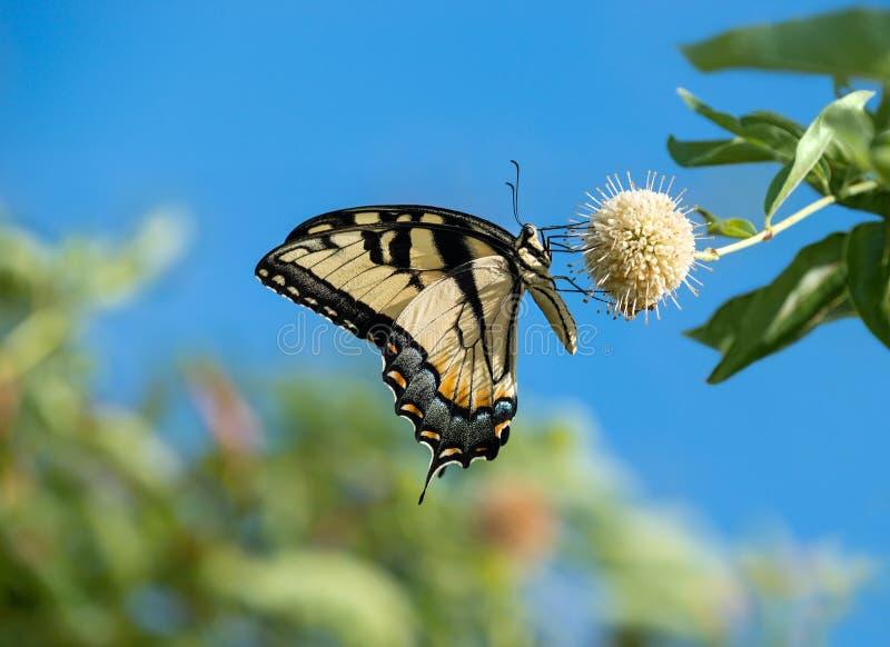 在buttonbush花的东部老虎Swallowtail蝴蝶 库存图片
