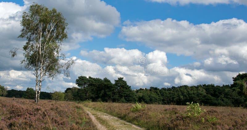 在Buurserzand的开花的荒地 库存照片