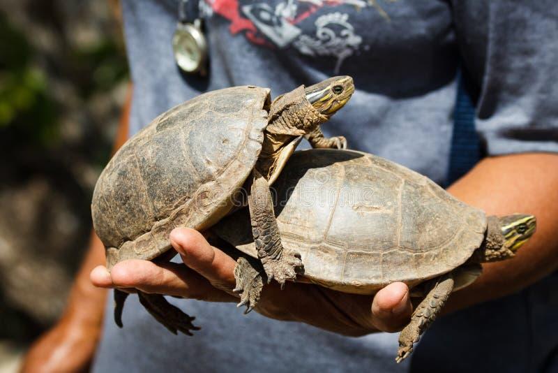 在calauit野生生物公园, corong,菲律宾的好奇淡水乌龟