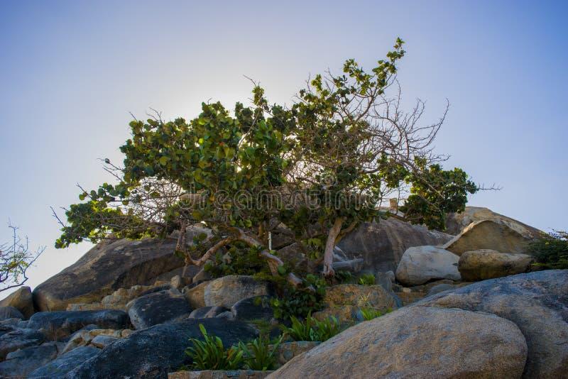 在Casibari岩石的树在阿鲁巴 图库摄影