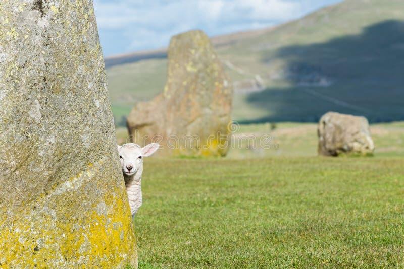 在Castlerigg石头圈子的羊羔 库存照片