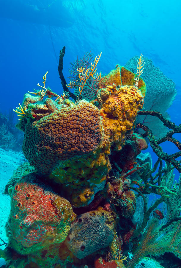在Cayo附近的坚硬珊瑚缓慢地,古巴 图库摄影