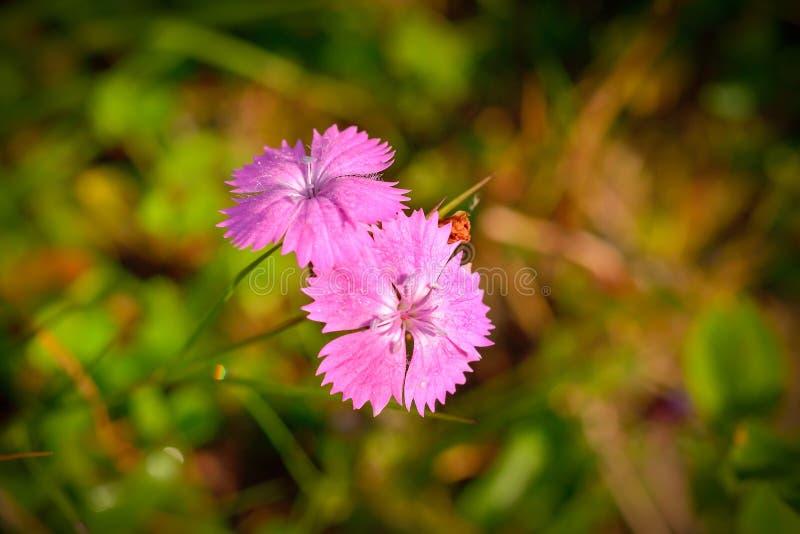 在Ceahlau山的野花,罗马尼亚 免版税库存照片