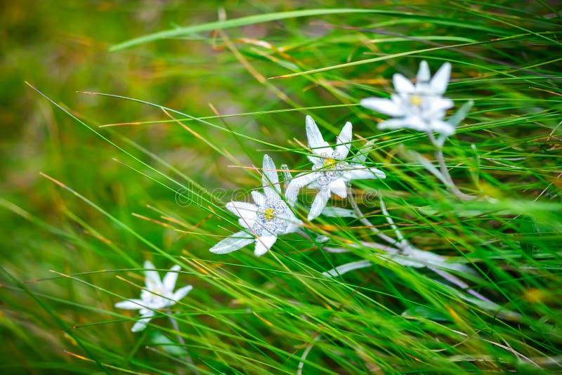 在Ceahlau山的Edelweiss高山花,罗马尼亚 免版税图库摄影